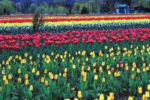 Indira Gandhi Tulip Garden 1/1 by Tripoto