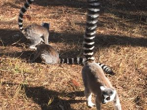 Looking at Lemurs and the Local Cuisine