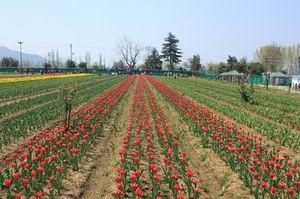 Tulip Garden Srinagar 1/3 by Tripoto
