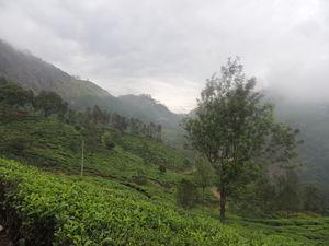 The Tea estates of Munnar