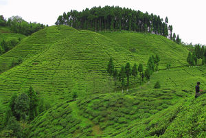 Time Travel to the Tea Gardens in North Bengal