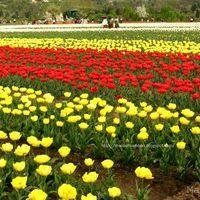 Tulip Garden Srinagar 2/3 by Tripoto